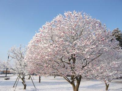 紅梅も雪化粧.jpg