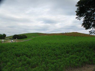コキアの丘.jpg